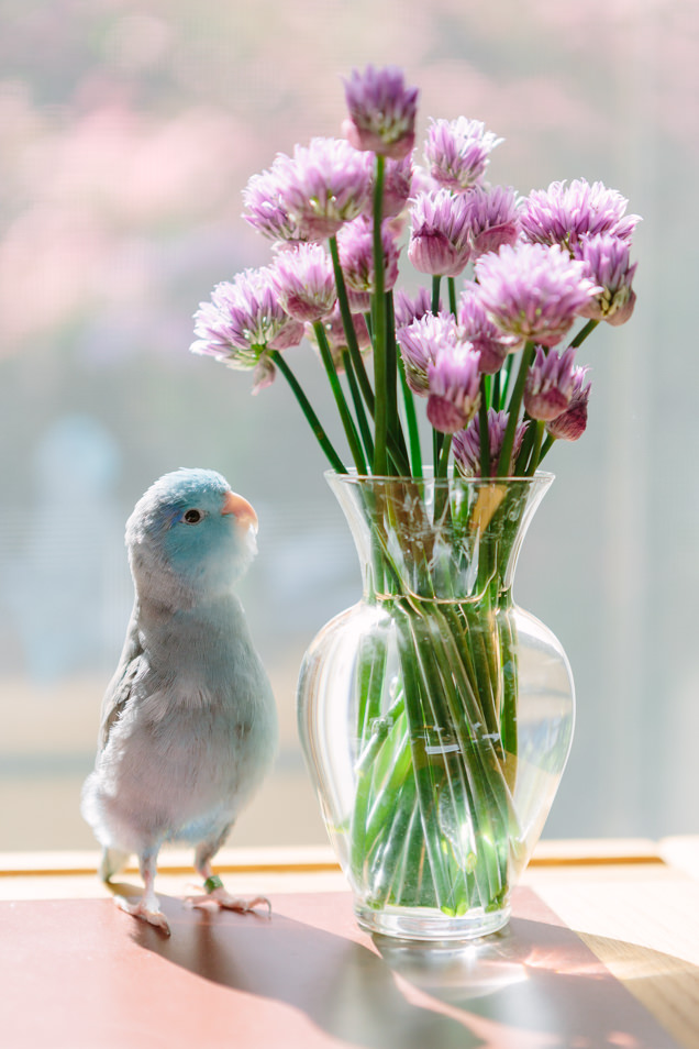 Flash the parrotlet stands next to and looks at a vase full of chive flowers