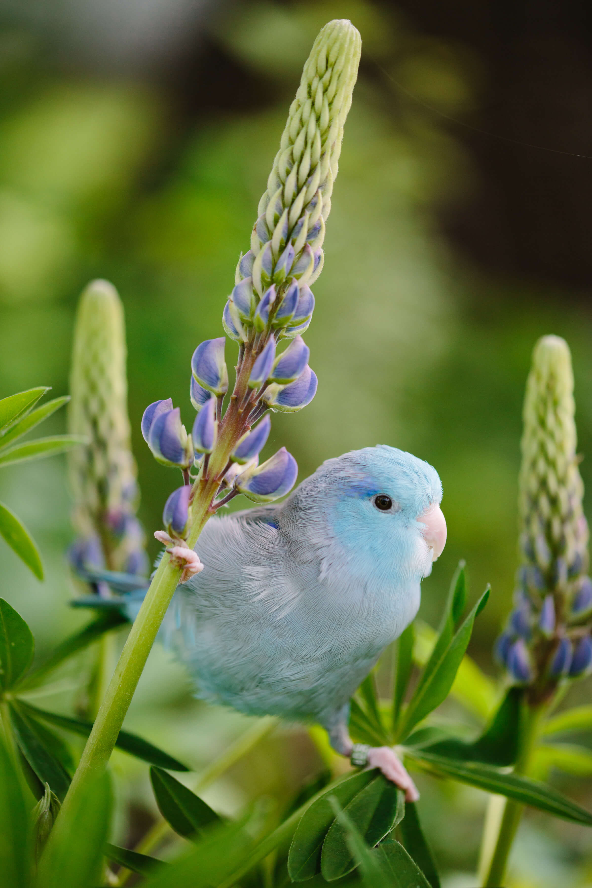 Flash the parrotlet does the splits while holding onto lupine flowers